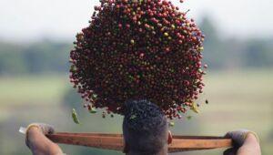 Conab avalia que Brasil terá segunda maior safra de café em 2020