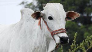 Abate de bovinos no 2º tri cai ao menor patamar desde 2011, diz IBGE; suínos têm recorde