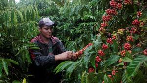 Café robusta atinge máxima de 4 anos; arábica avança mais de 2%