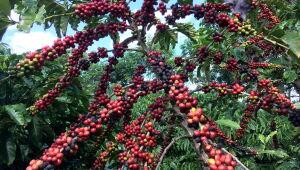 Café robusta atinge máxima de quatro anos na ICE, açúcar branco fecha em alta