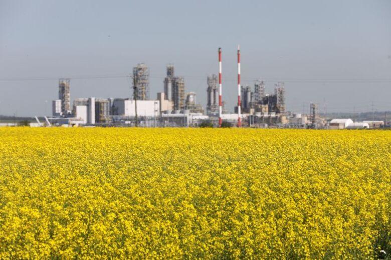 Cultivo de canola em Alberta, Canadá